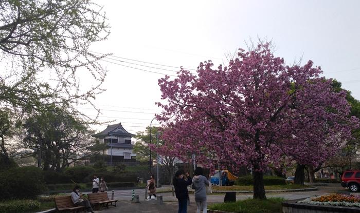 福岡「セマウル食堂」天神大名店でヨルタンプルコギ!&「西公園」と「舞鶴公園」のさくら